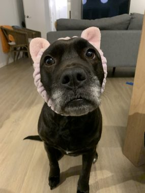 Humor and laughter | FAP News Today | Jaime's dog Dakota looks up at her wearing pink bunny ears.